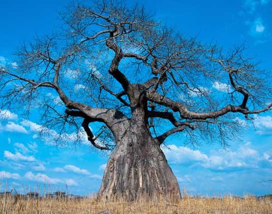 Tanzania Baobab Tree