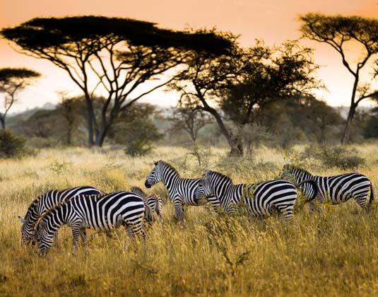 Tanzania Zebras