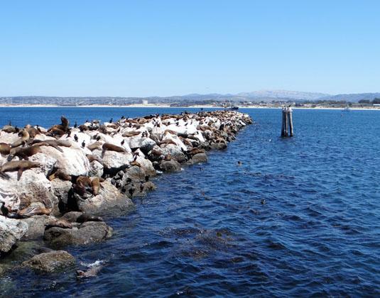 Monterey - Seals on rock