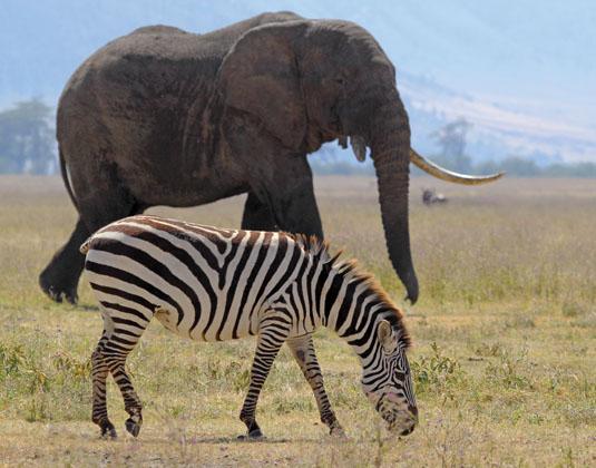 Ngorongoro Conservation Area Elephant and Zebra, Tanzania