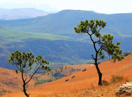 Drakensberg Tree