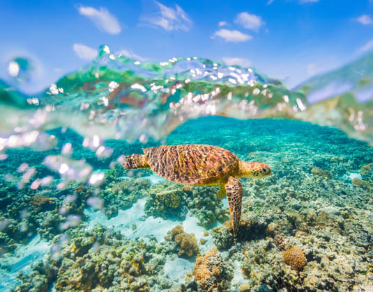 Turtle Great Barrier Reef
